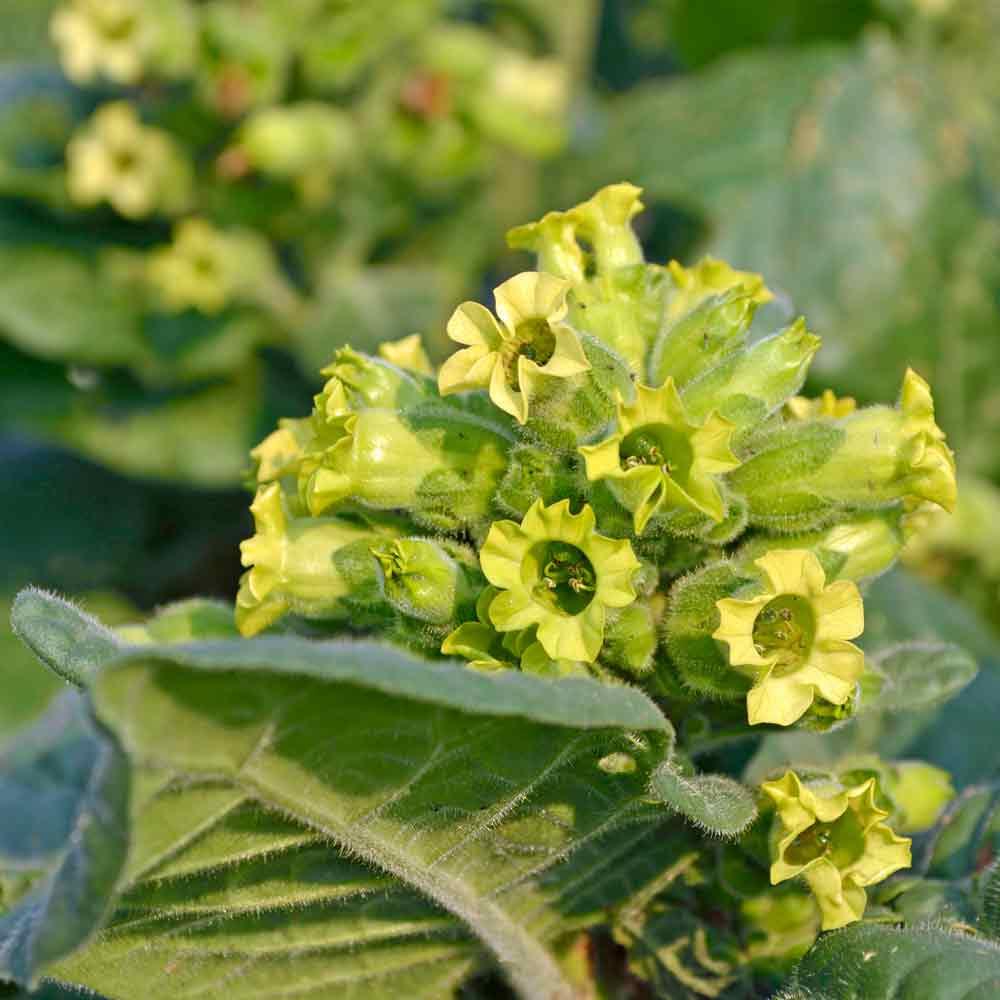 Hopi Ceremonial Tobacco flowers - (Nicotiana rustica)