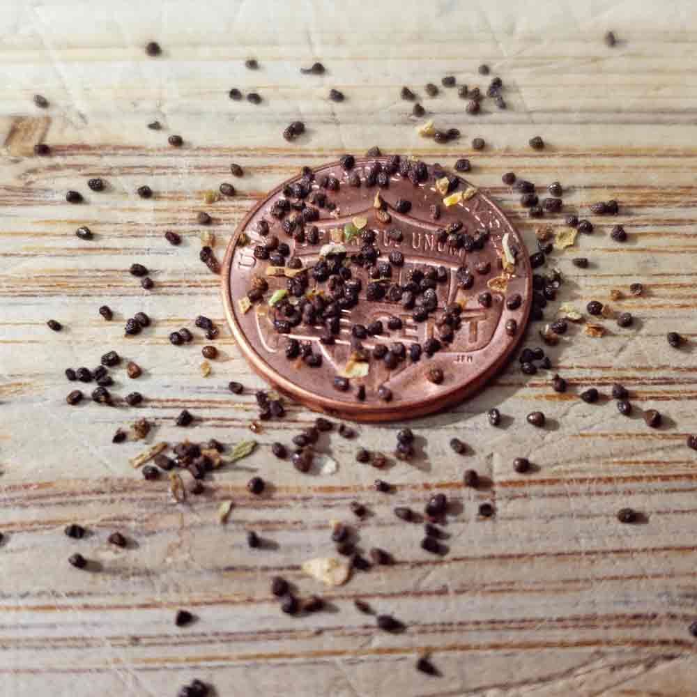 Hopi Ceremonial Tobacco Seeds - (Nicotiana rustica)