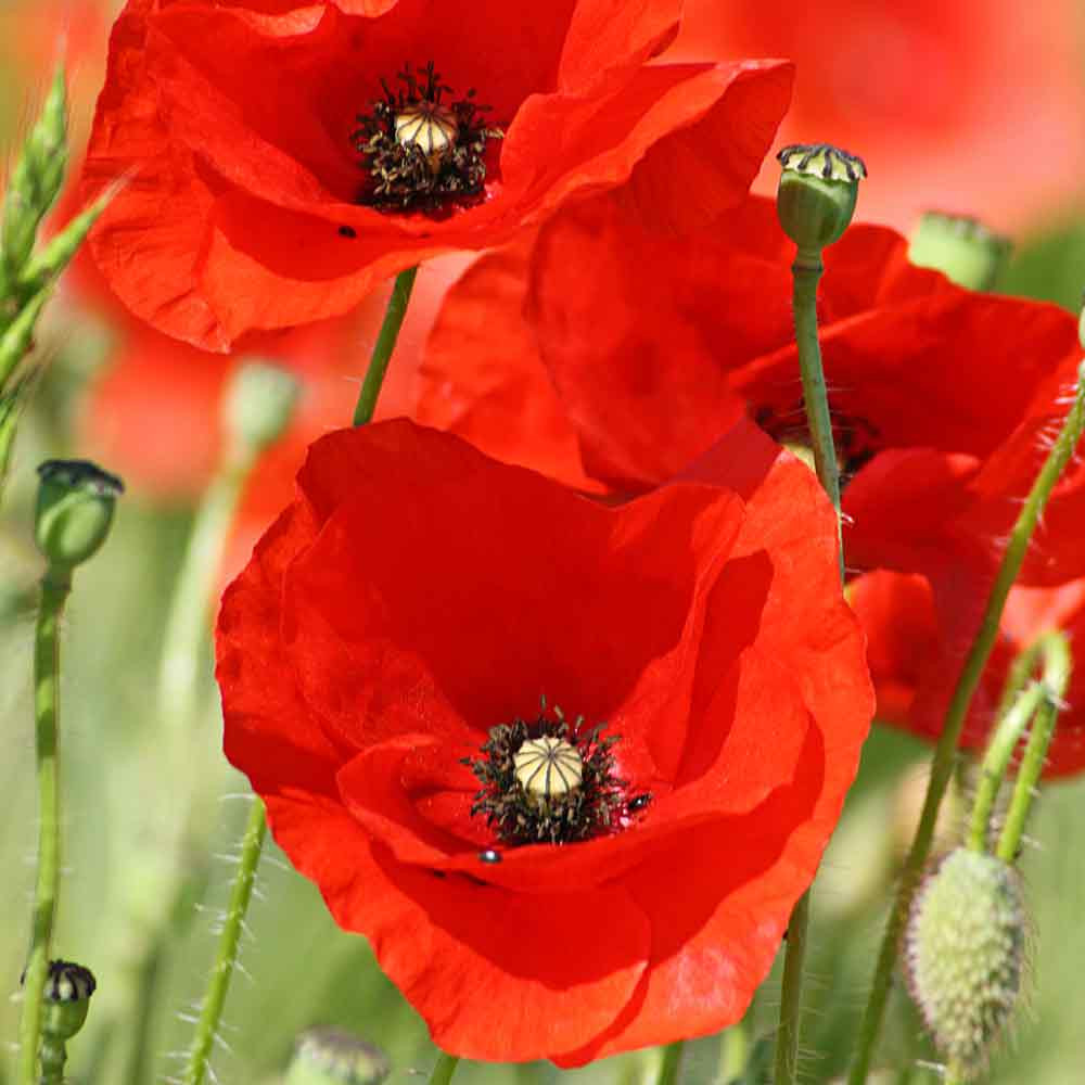Red Corn Poppy flowers - (Papaver rhoeas)