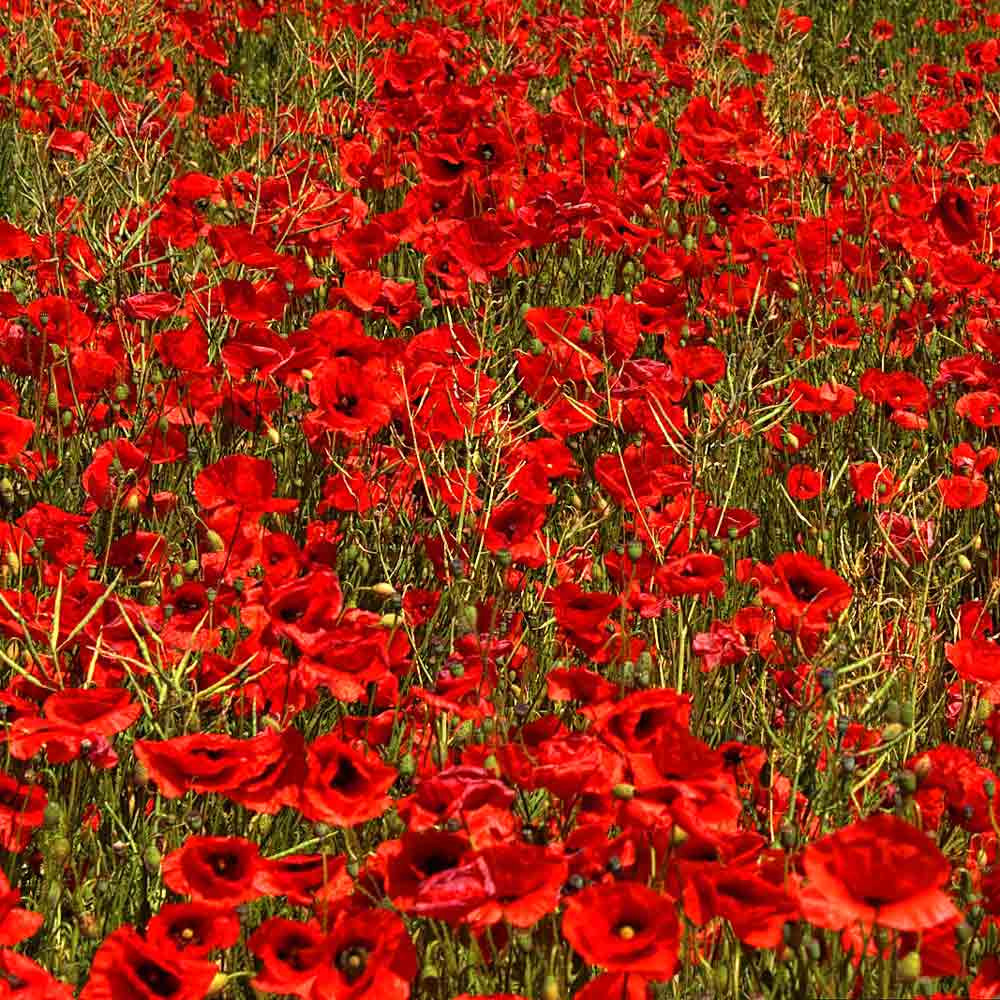 Field of Red Corn Poppies - (Papaver rhoeas)
