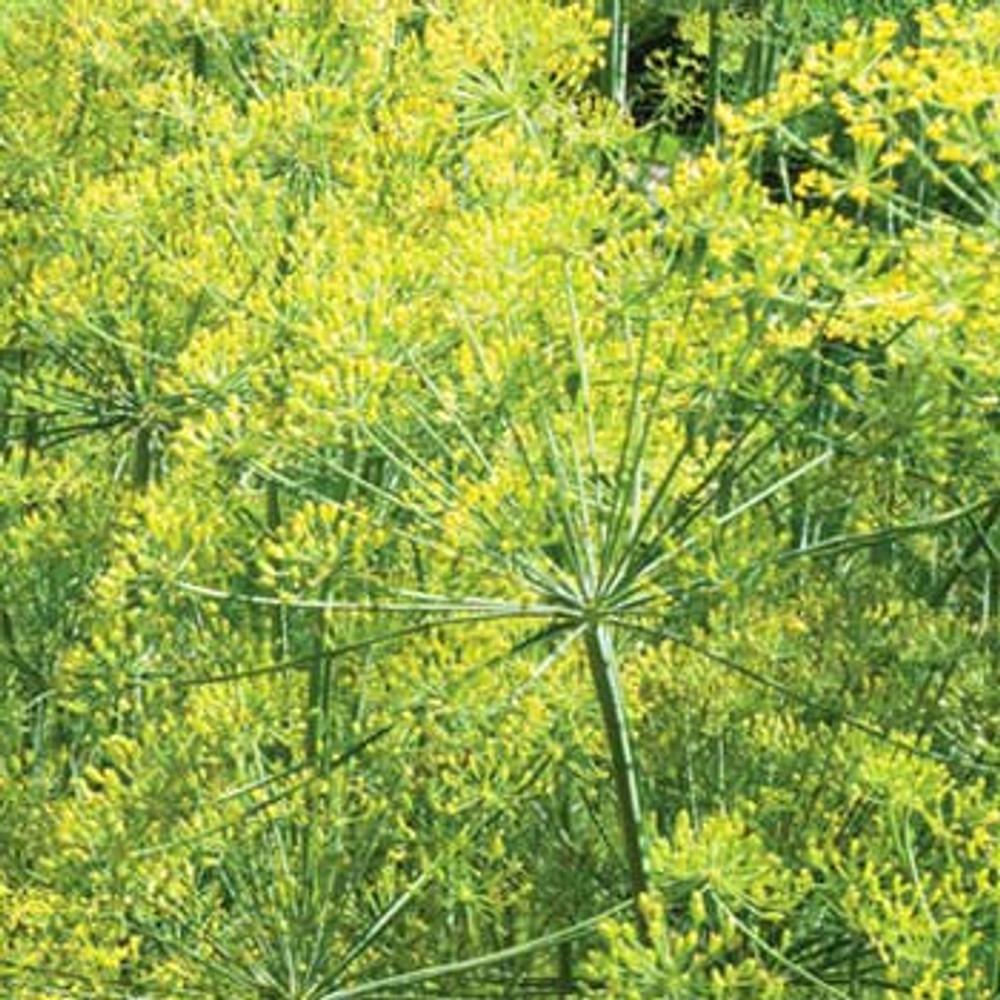 Mariska Dill - (Anethum graveolens)