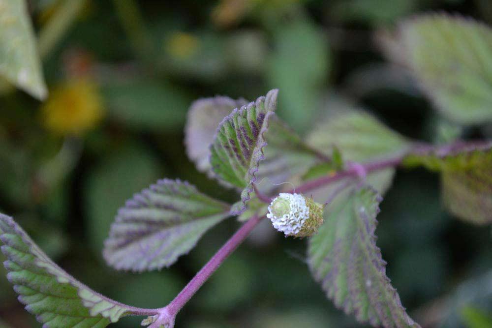 Dulce Buttons / Aztec Sweet Herb - (Lippia dulcis)