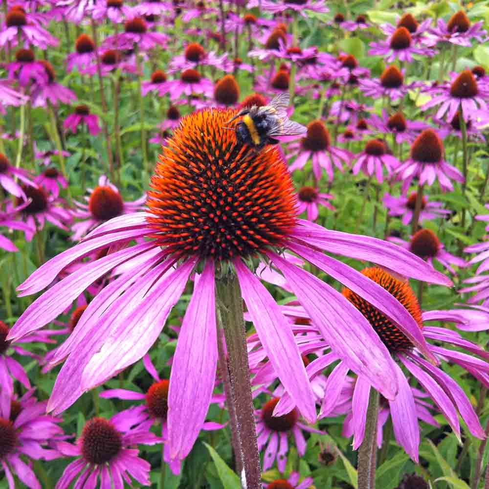 Purple Coneflower Echinacea flowers with bumblebee - (Echinacea purpurea)