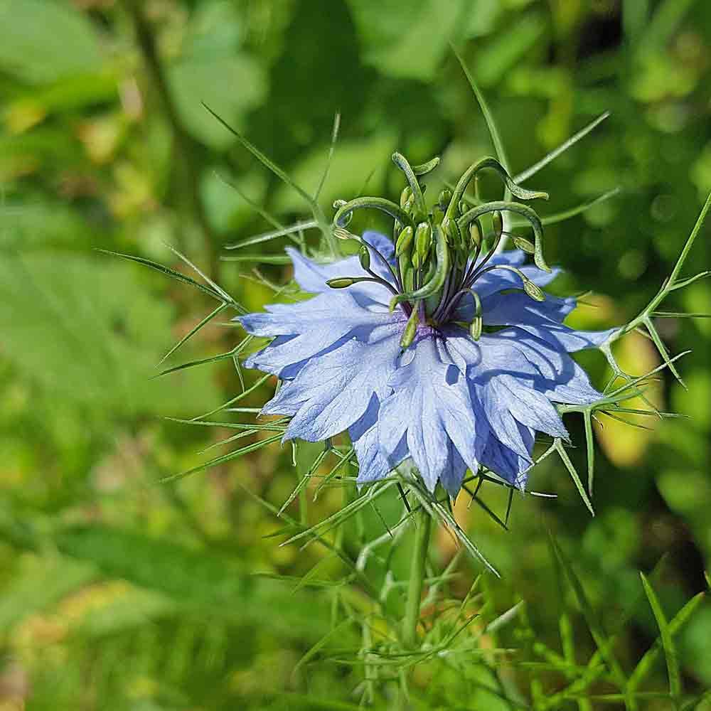 Nutmeg Flower/Black Cumin flower - (Nigella sativa)