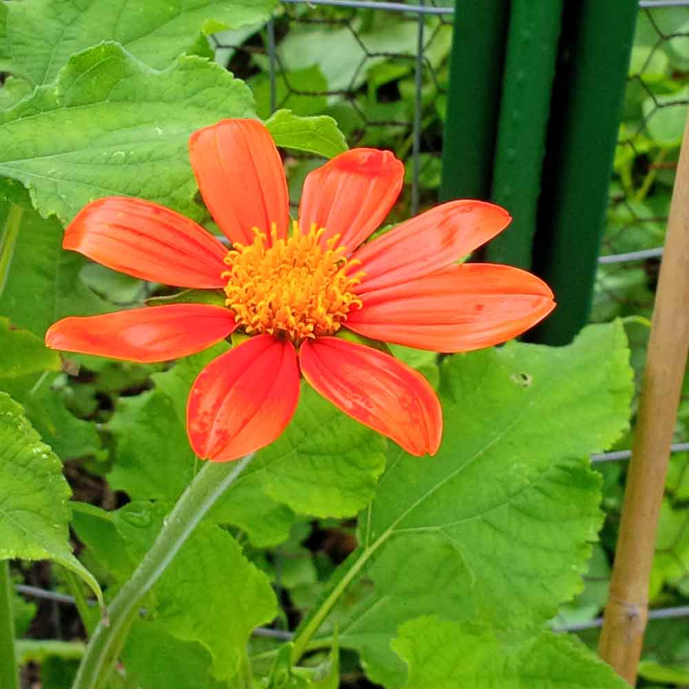 Mexican Sunflower blossom - (Tithonia rotundifolia 'Torch')