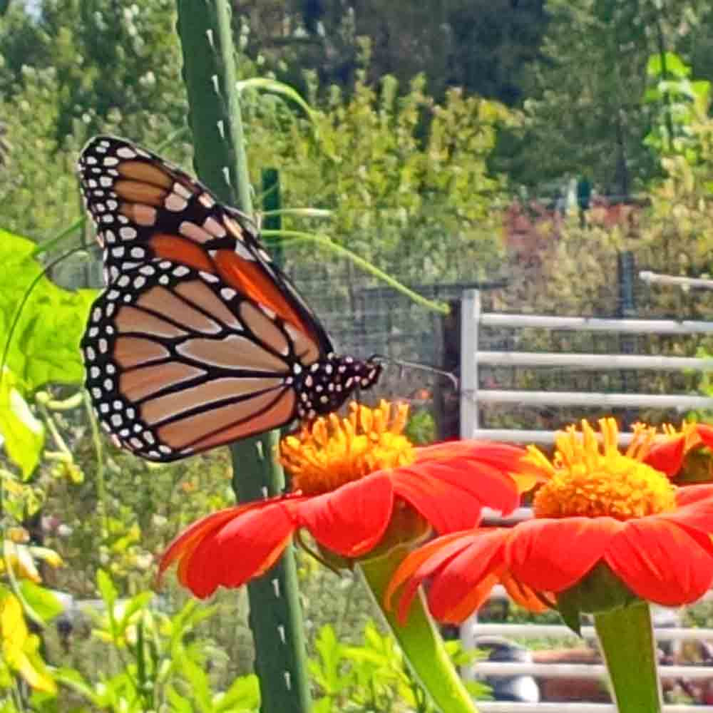 Mexican Sunflower with Monarch butterfly  - (Tithonia rotundifolia 'Torch')