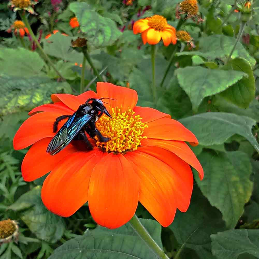 Mexican Sunflower with black bee  - (Tithonia rotundifolia 'Torch')