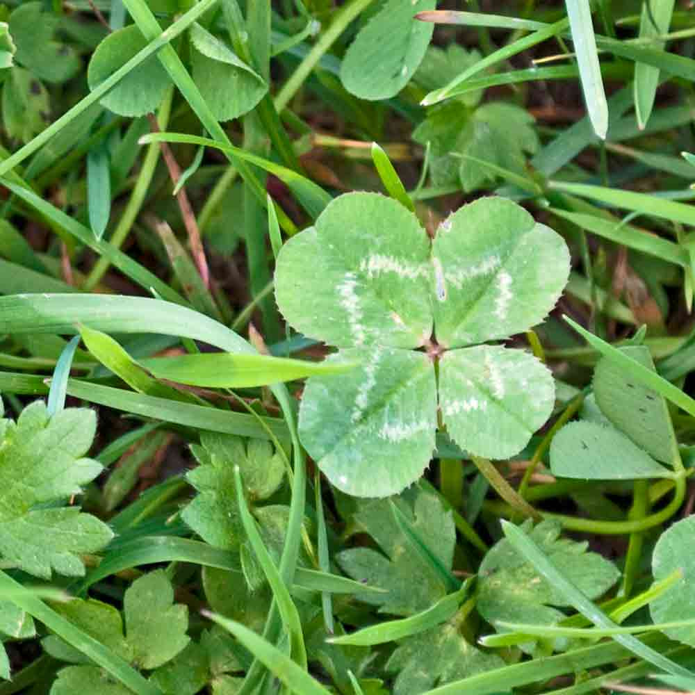 Four Leaf Clover /Legendary Good Luck Flower - (Trifolium repens)