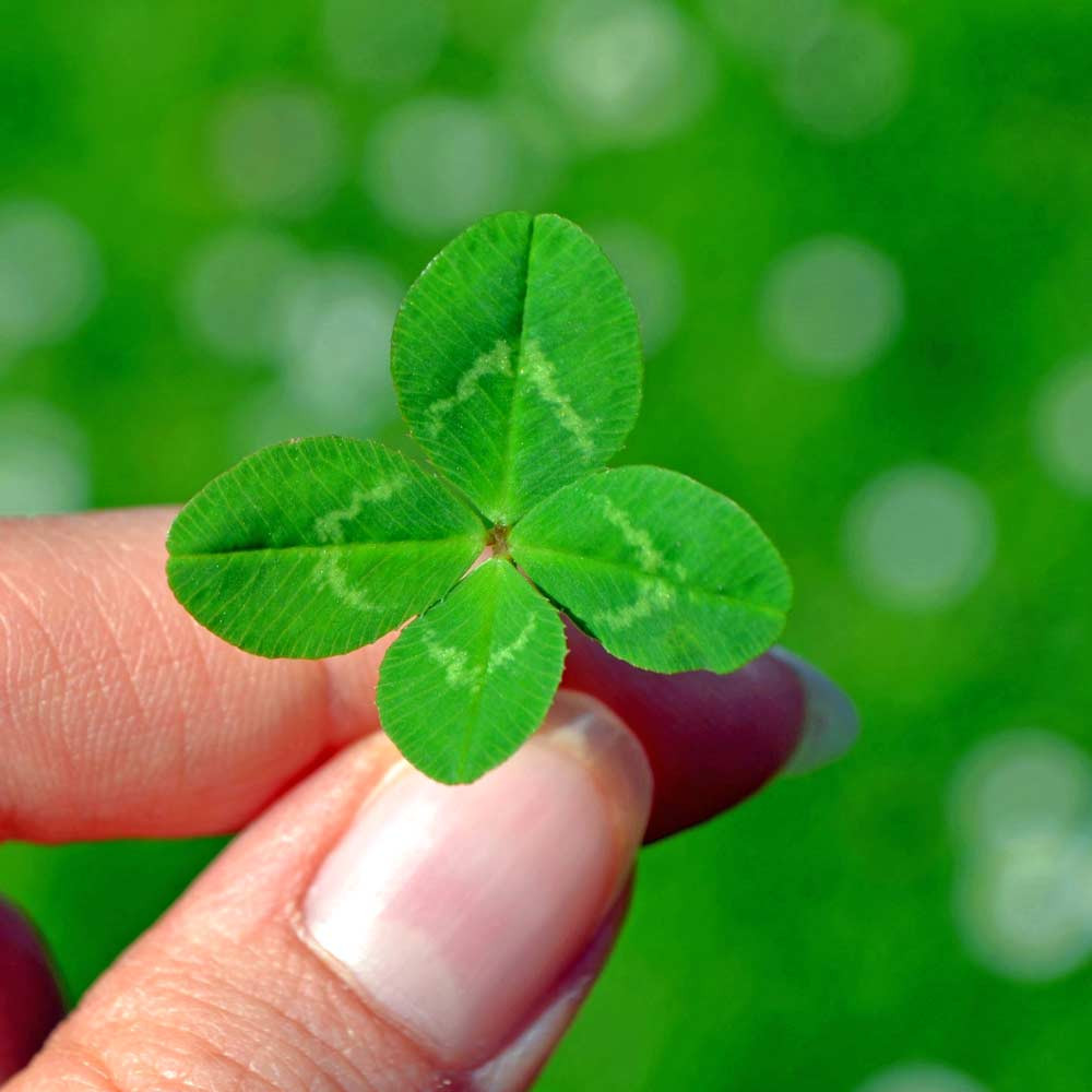 Four Leaf Clover /Legendary Good Luck Flower - (Trifolium repens)