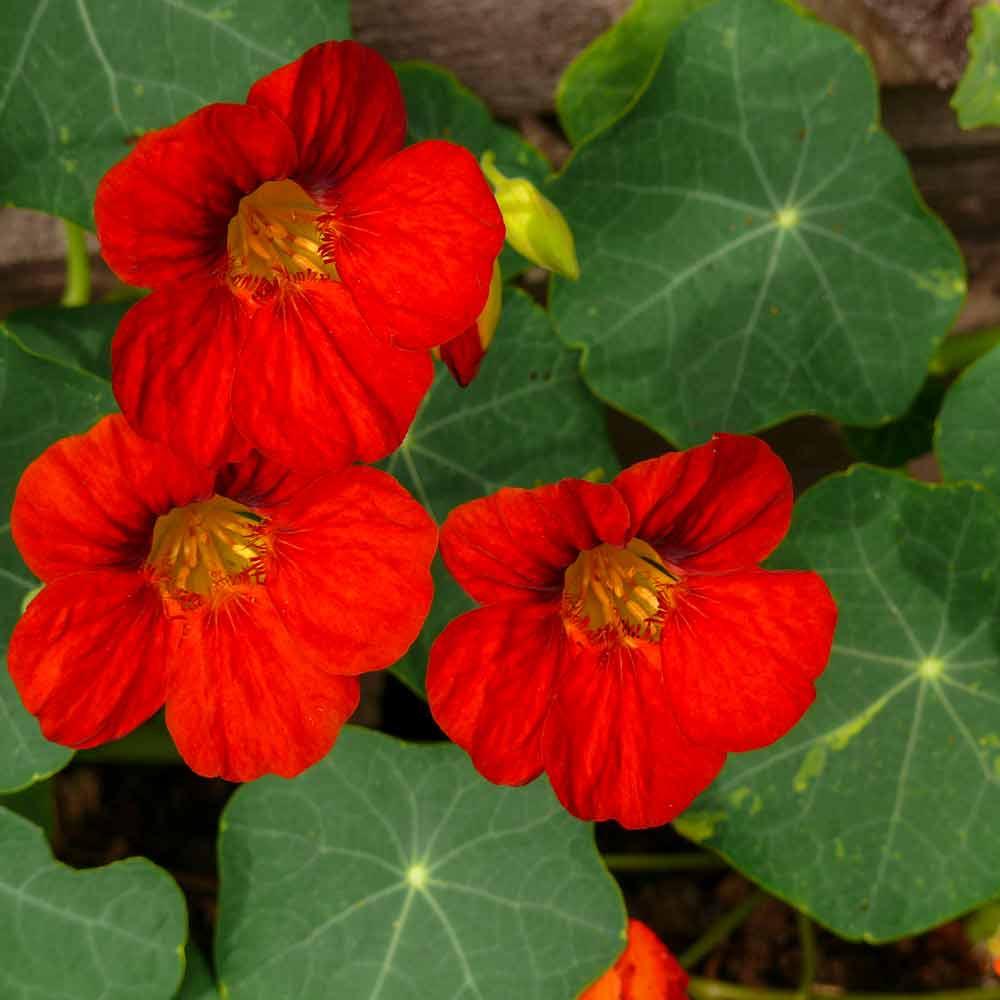 Empress of India Nasturtium flowers - (Tropaeolum majus)