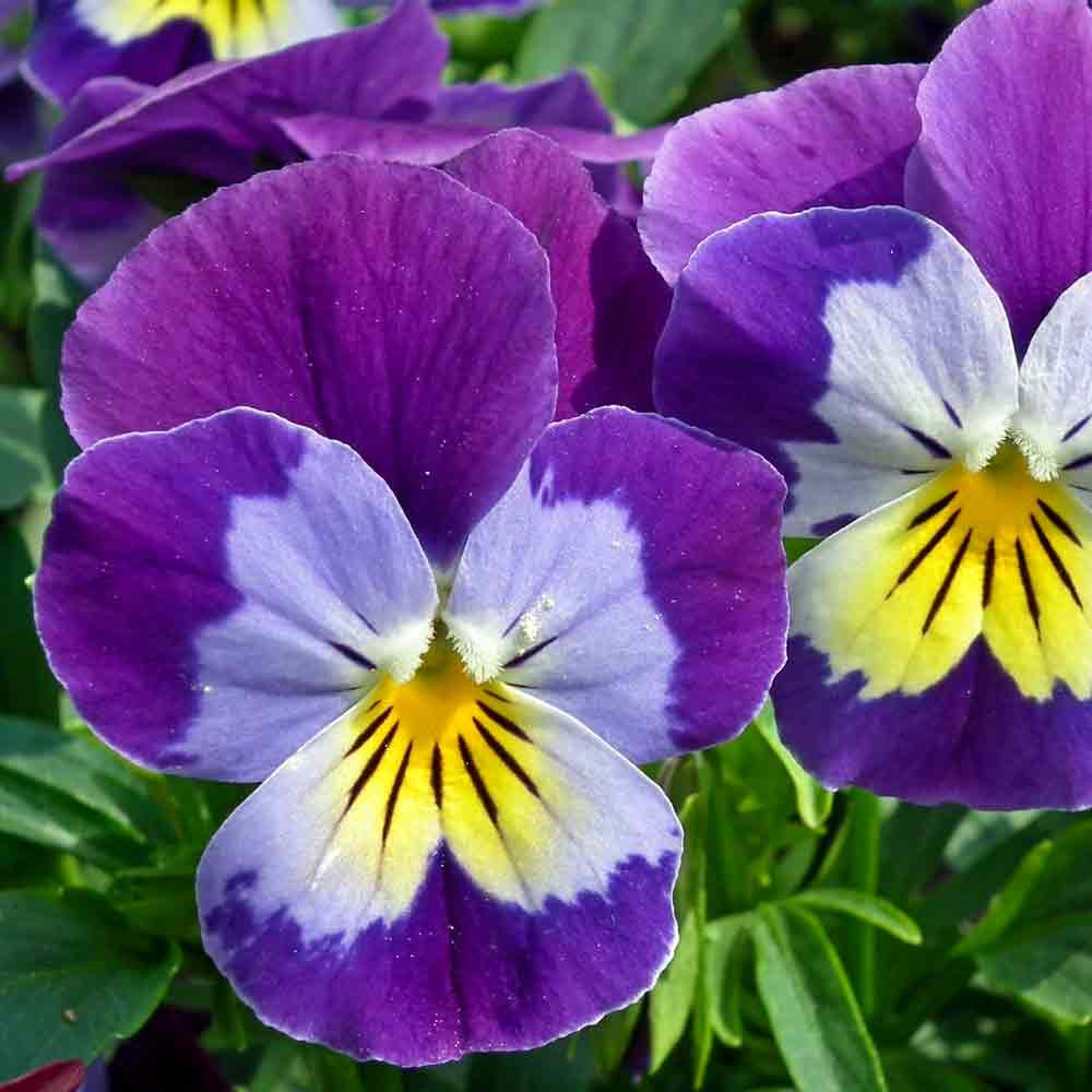 Johnny Jump-Up Flowers - (Viola x williamsiana)