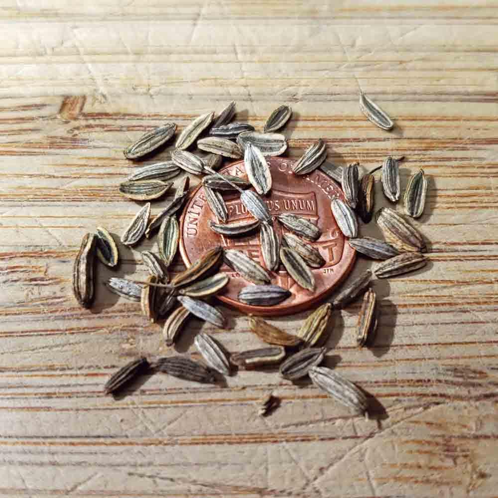 Romanesco Fennel Seeds - (Foeniculum vulgare)