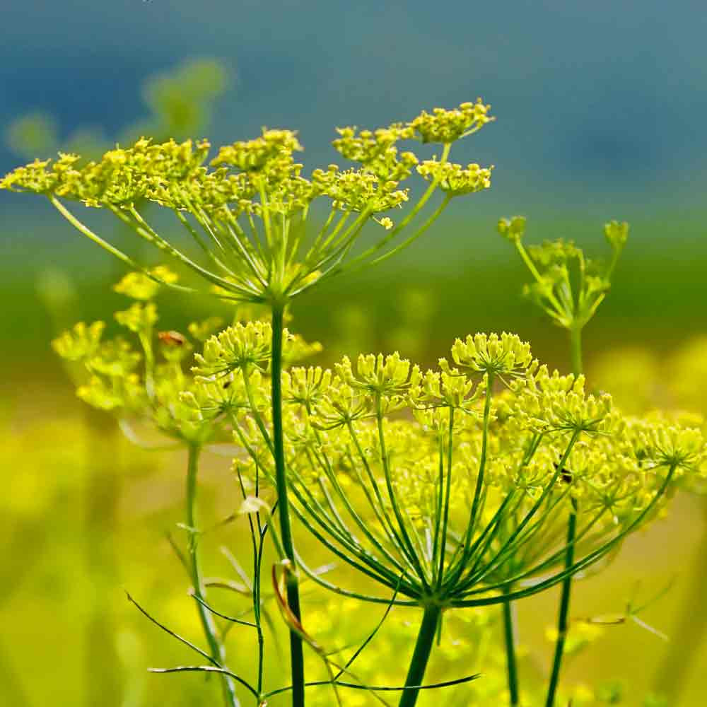 Romanesco Fennel flowers - (Foeniculum vulgare)