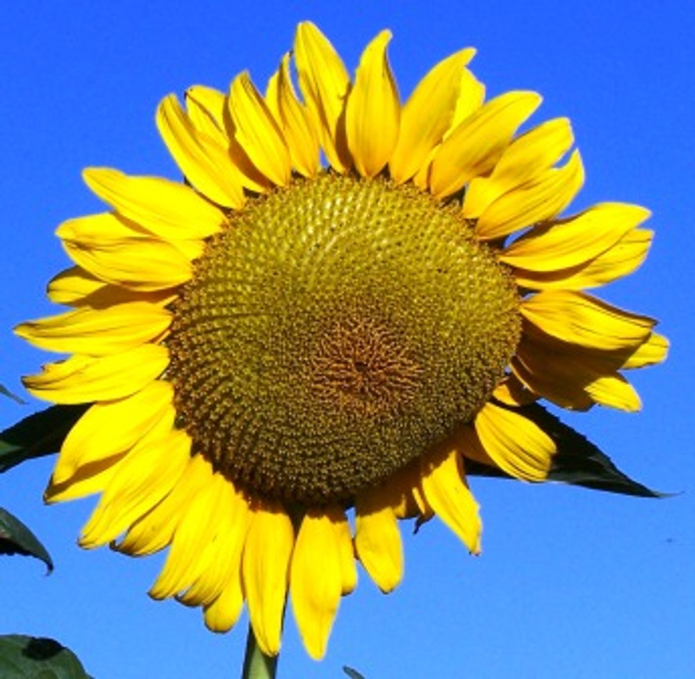 Black Russian Sunflower - (Helianthus annuus)
