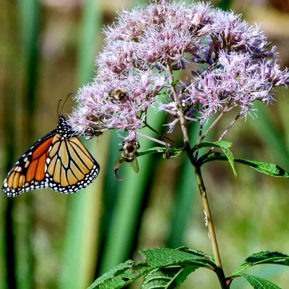 Monarch and Bee on Joe Pye Weed Flowers - (Eupatorium maculatum )