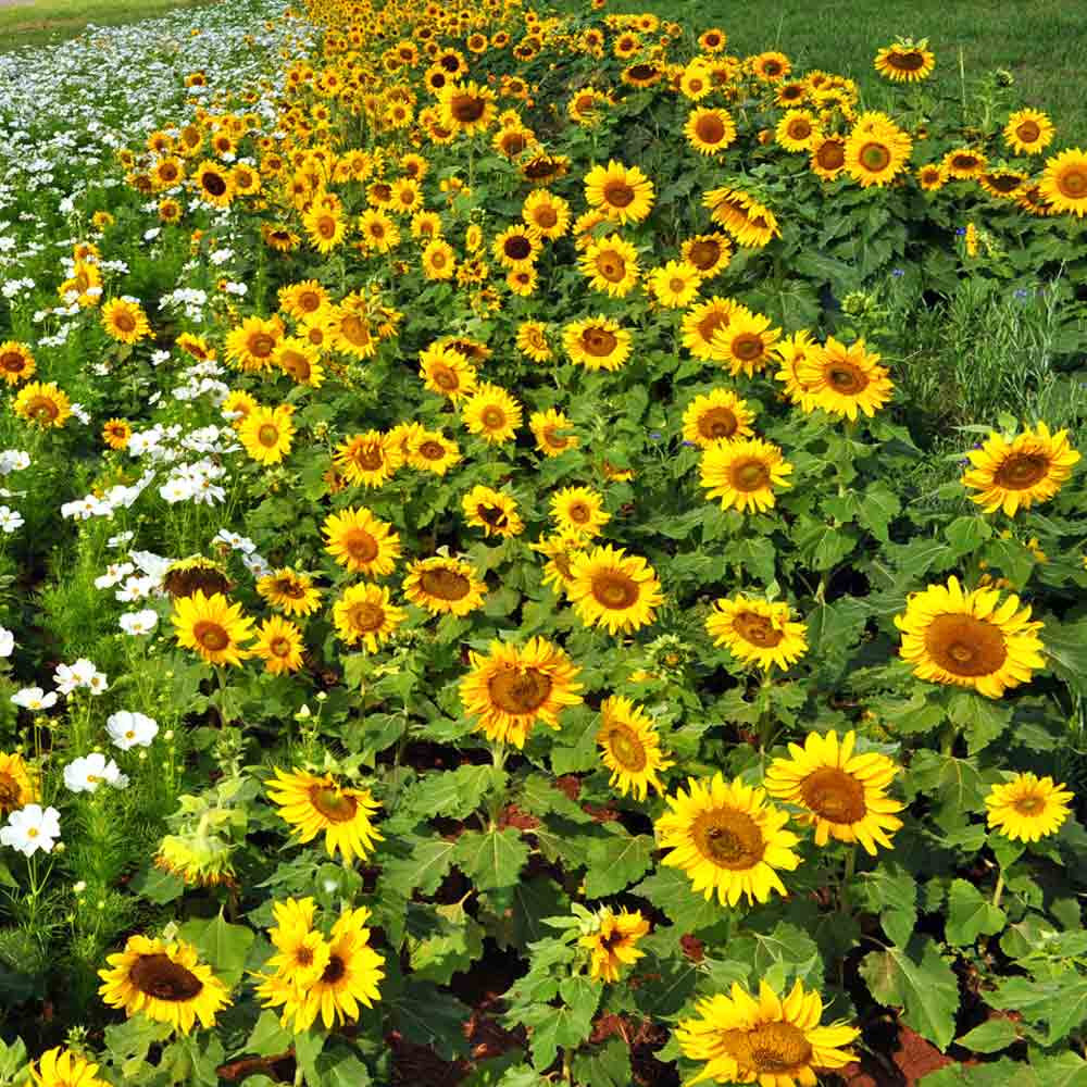 Stand of Dwarf Sunspot Sunflowers - (Helianthus annuus)