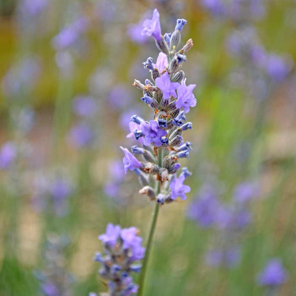 Single stalk of English Lavender blossoms - (Lavandula angustifolia)