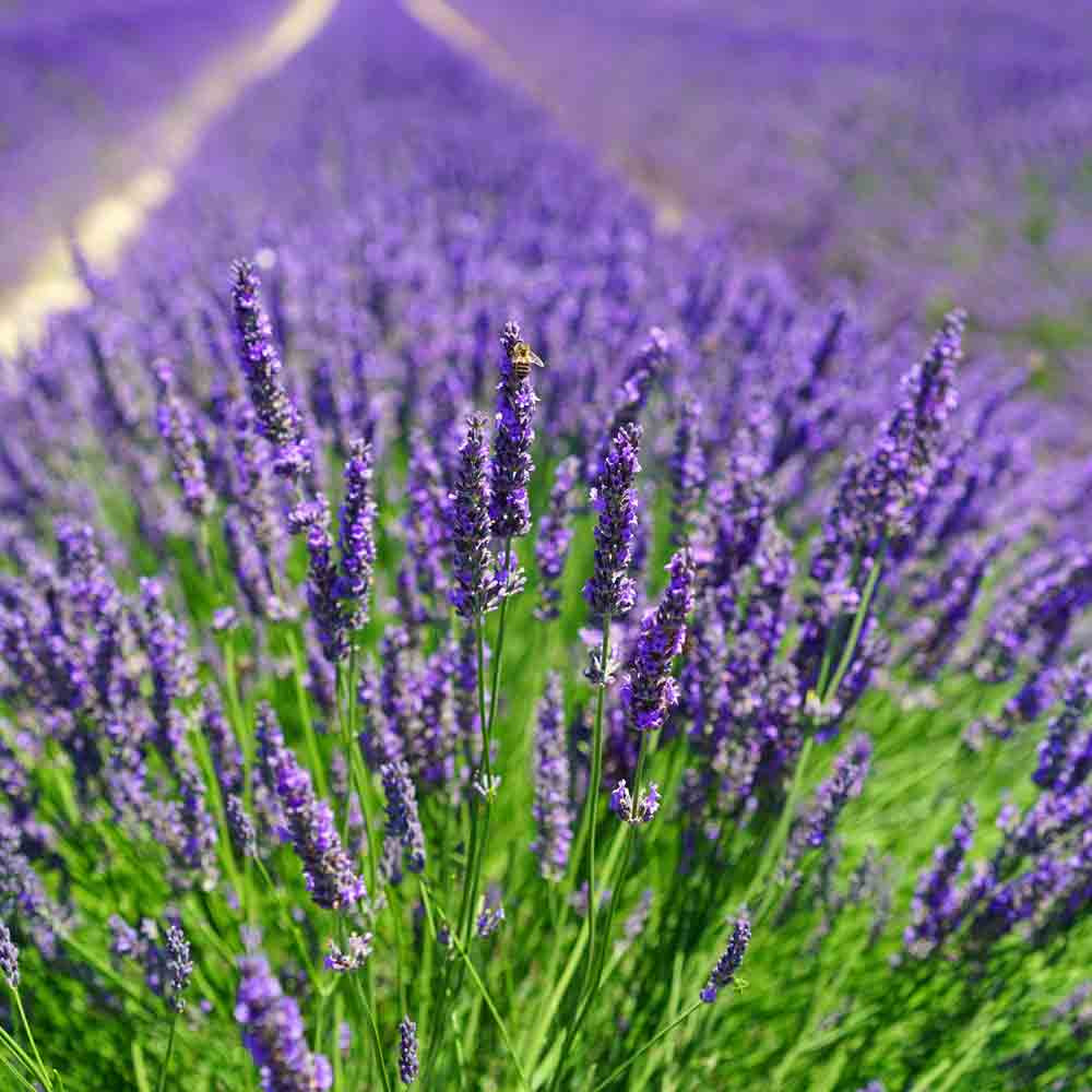 Field of English Lavender  - (Lavandula angustifolia)