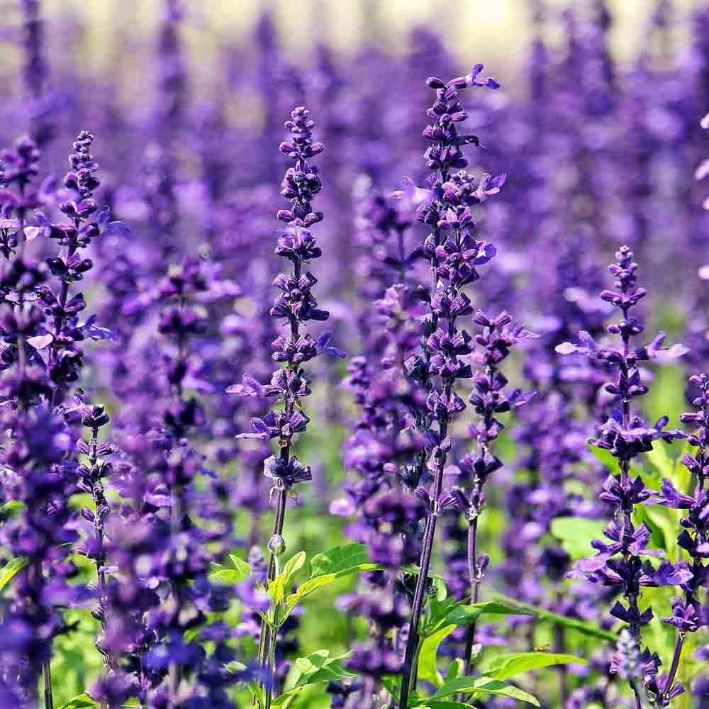 English Lavender blossoms - (Lavandula angustifolia)