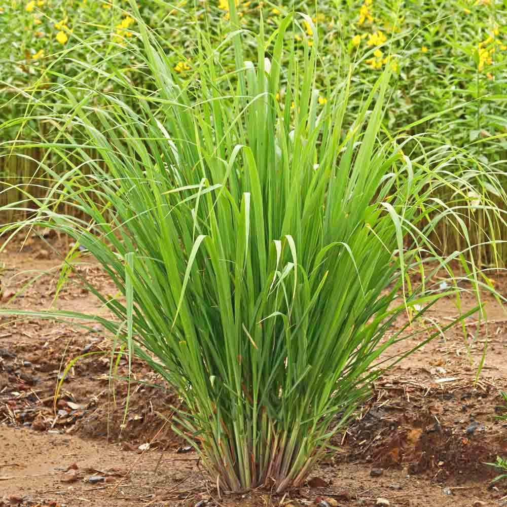 East Indian Lemongrass Plant - (Cymbopogon flexuosus)