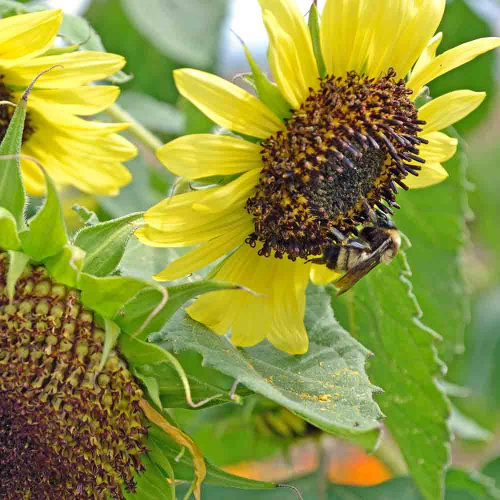 Lemon Queen Heirloom Sunflowers - (Helianthus annuus)
