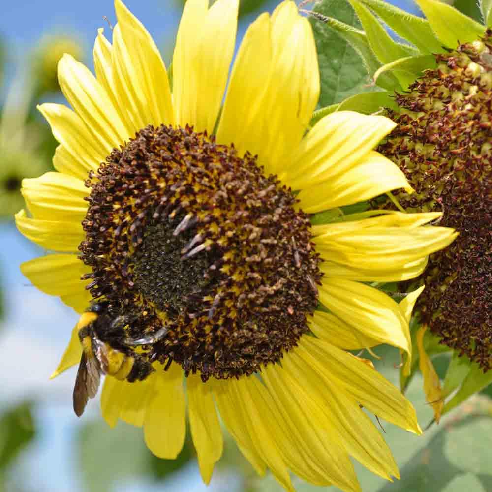Lemon Queen Sunflowers - (Helianthus annuus)