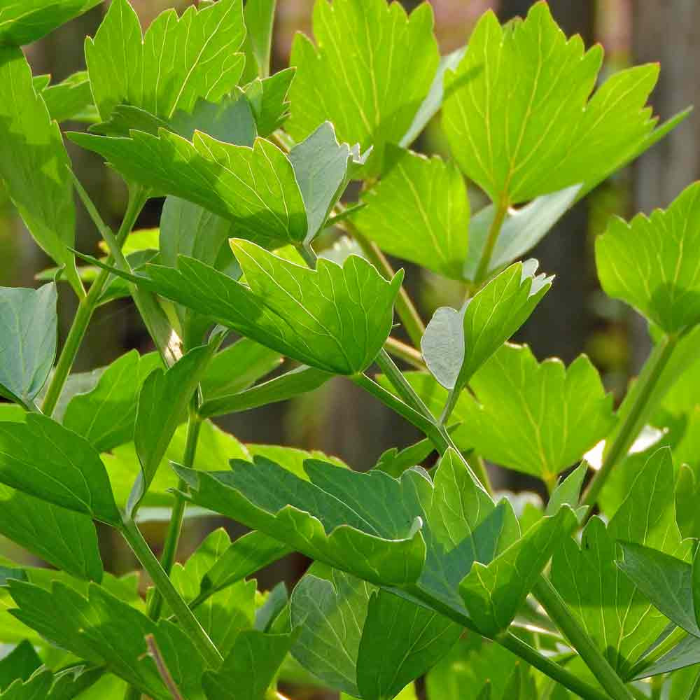 Lovage Leaves - (Levisticum officinale)