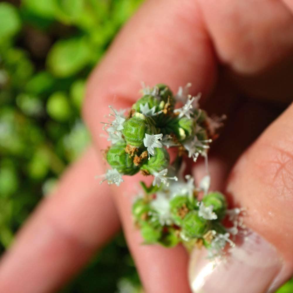 Sweet Marjoram blossoms - (Origanum majorana)