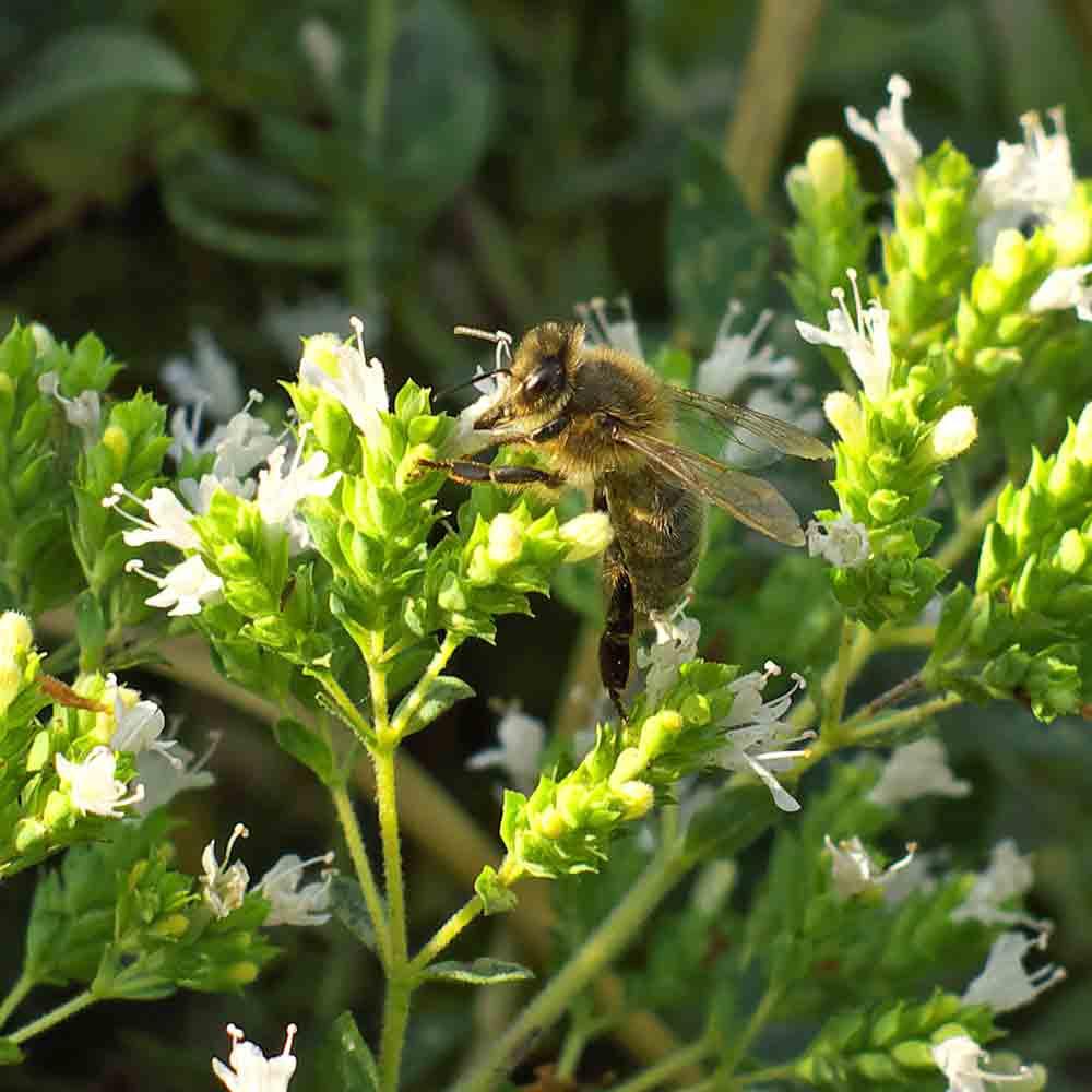 Bee feeding on Sweet Marjoram blossoms - (Origanum majorana)
