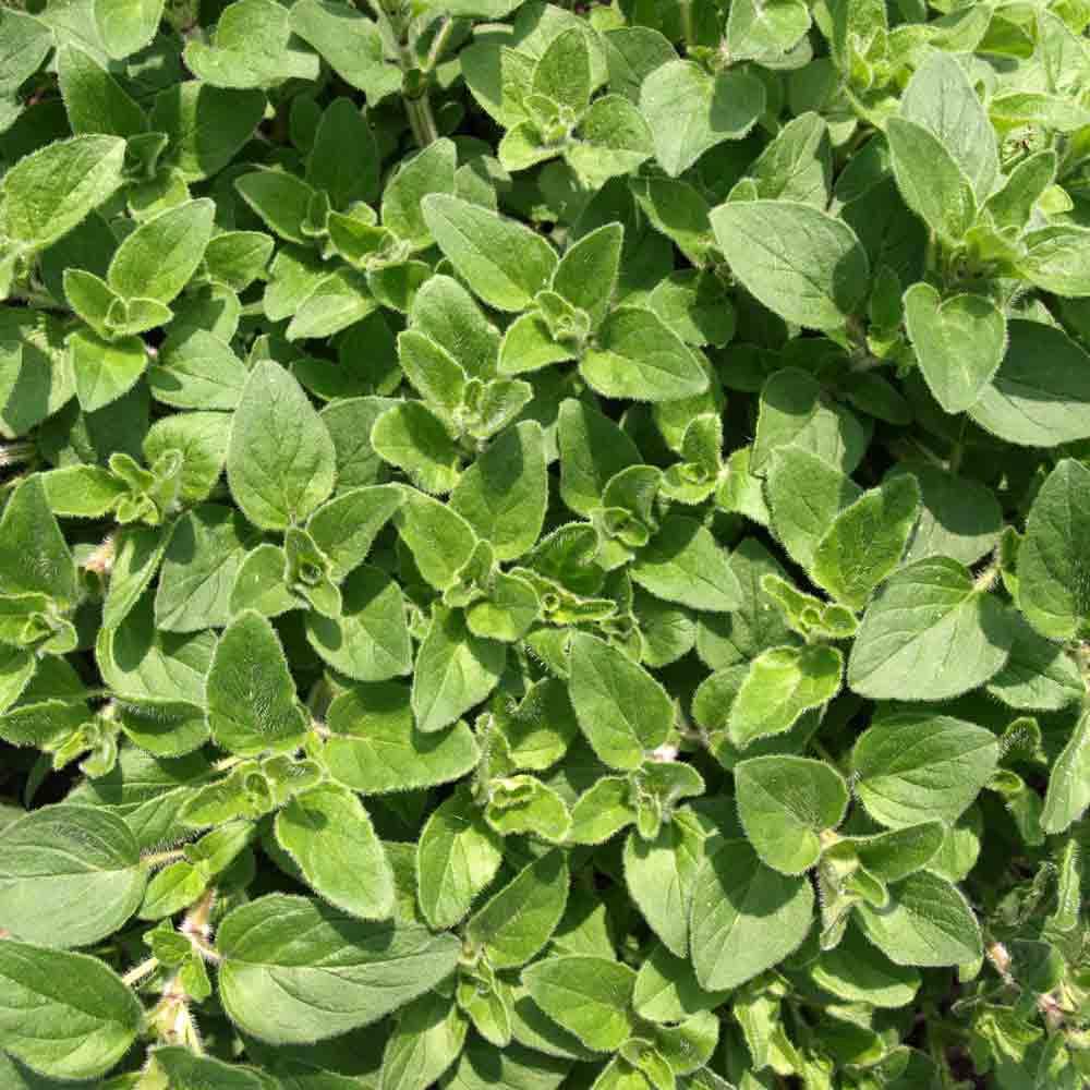 Sweet Marjoram leaves - (Origanum majorana)