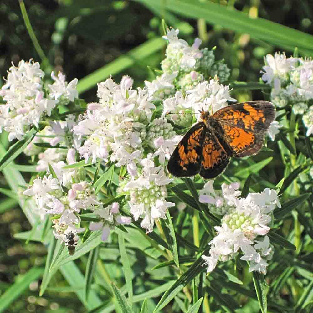 Virginia Mountain Mint - (Pycnanthemum virginianum)