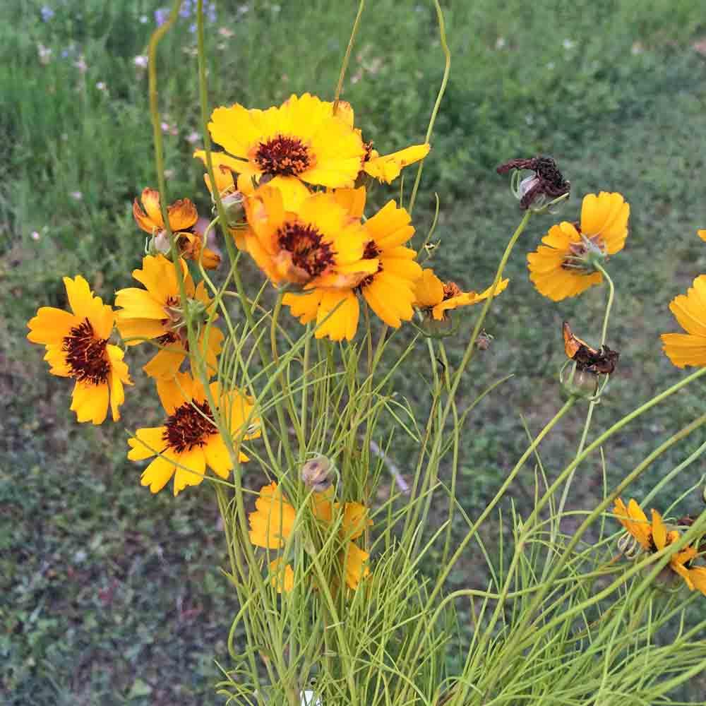 Navajo/Hopi Tea (Greenthread) flowers - (Thelesperma filifolium)