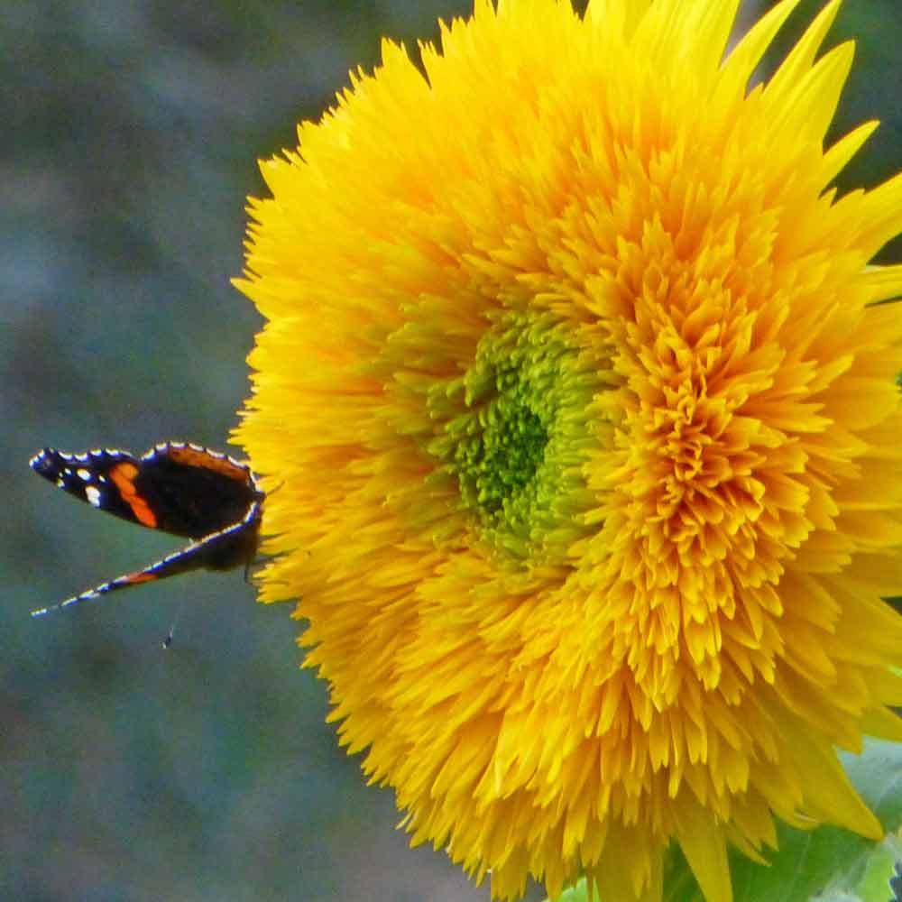 Teddy Bear Sunflower - (Helianthus annuus)