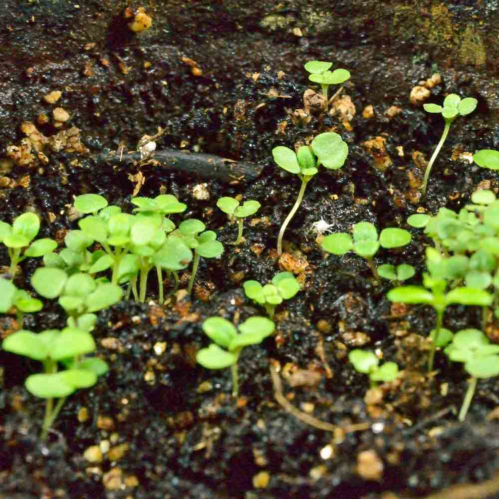 True Greek Oregano seedlings - (Origanum heracleoticum)