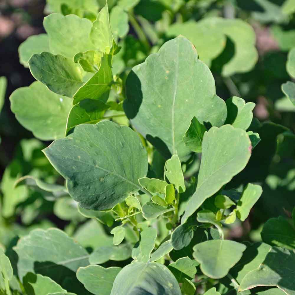 Papalo/Quilquiña Plant- (Porophyllum ruderale ssp. macrocephalum)