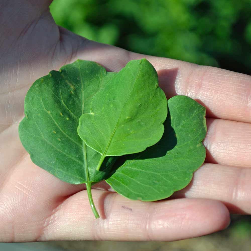 Papalo/Quilquiña Leaves - (Porophyllum ruderale ssp. macrocephalum)