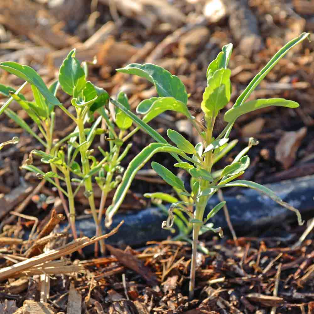 Papalo/Quilquiña Seedlings - (Porophyllum ruderale ssp. macrocephalum)