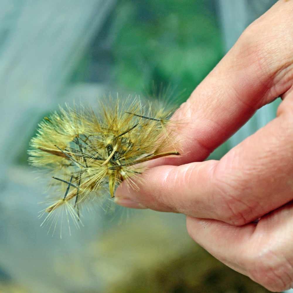 Papalo/Quilquiña Seeds - (Porophyllum ruderale ssp. macrocephalum)