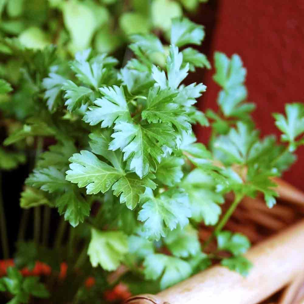 Flat Leaf Parsley leaves - (Petroselinum crispum var. latifolium)