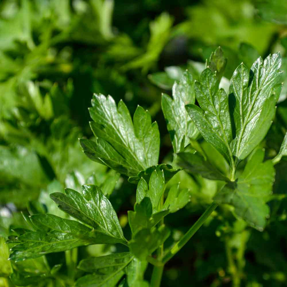 Giant of Italy Parsley leaf - (Petroselinum crispum var. latifolium)