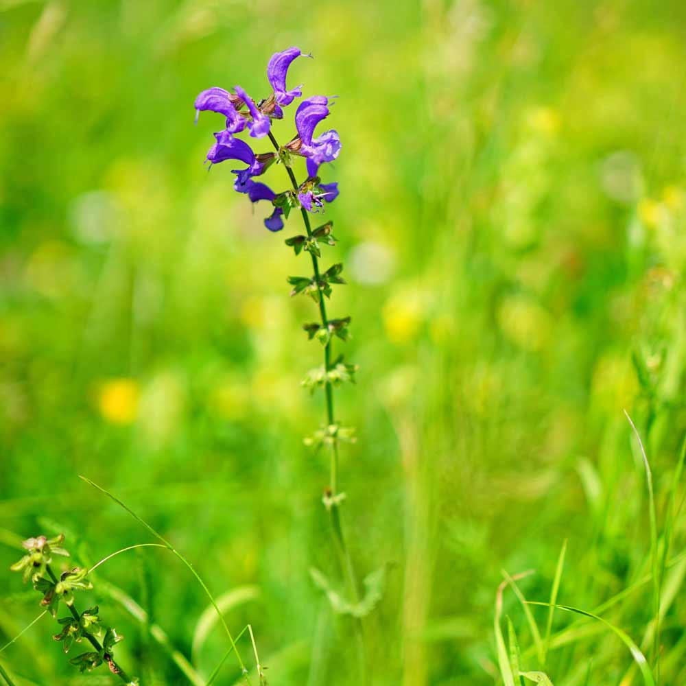 Clary Sage - (Salvia sclarea)