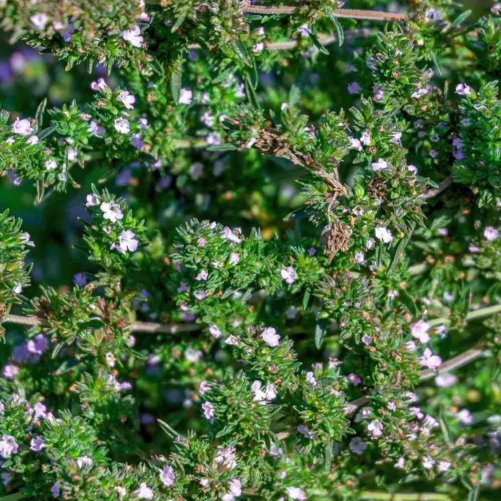 Summer Savory leaves and blooms - (Satureja hortensis)