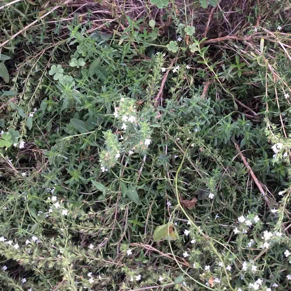 Summer Savory  - (Satureja hortensis)