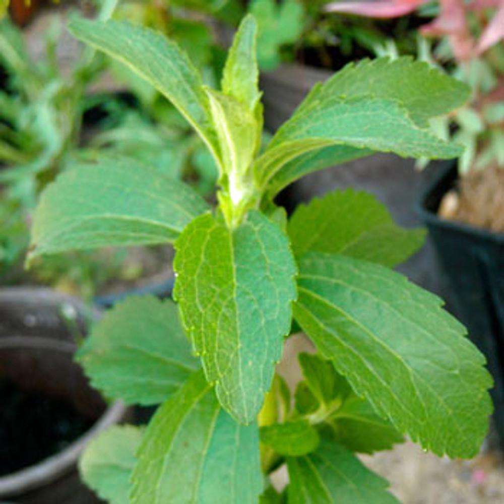 Stevia / Sweet Herb - (Stevia rebaudiana)