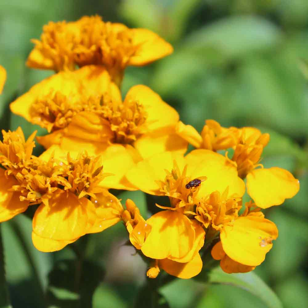Mexican Marigold/Mexican Tarragon flowers - (Tagetes lucida)