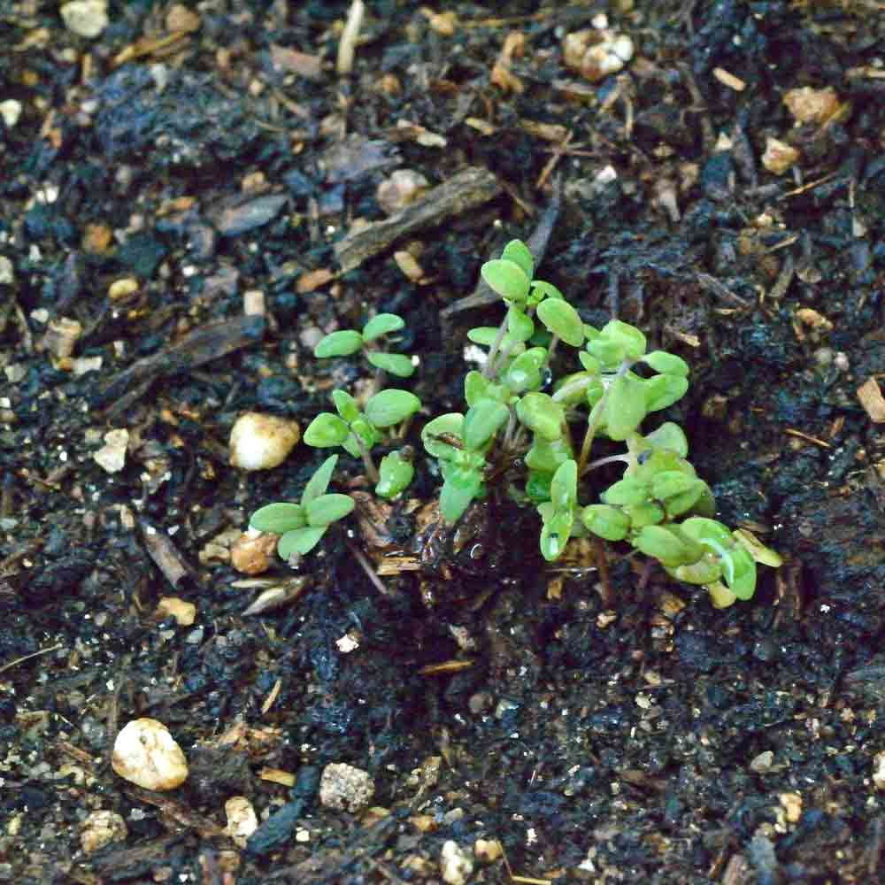 English Thyme seedlings - (Thymus vulgaris)