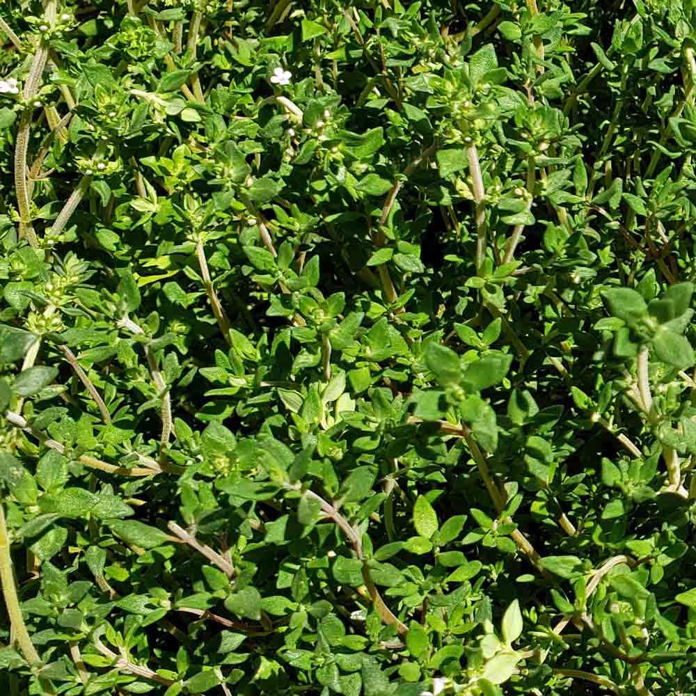 English Thyme leaves   - (Thymus vulgaris)