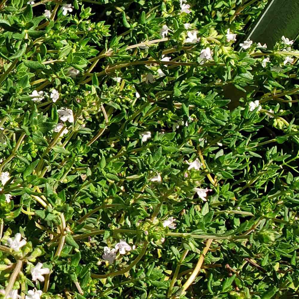 English Thyme leaves and flowers  - (Thymus vulgaris)