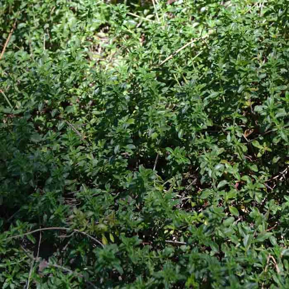 Creeping Thyme - (Thymus serpyllum)