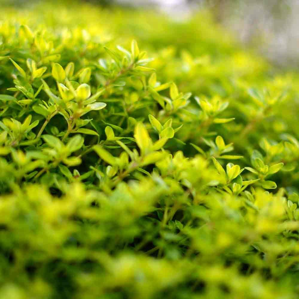 Orange Scented Thyme leaves - (Thymus fragrantissimus)